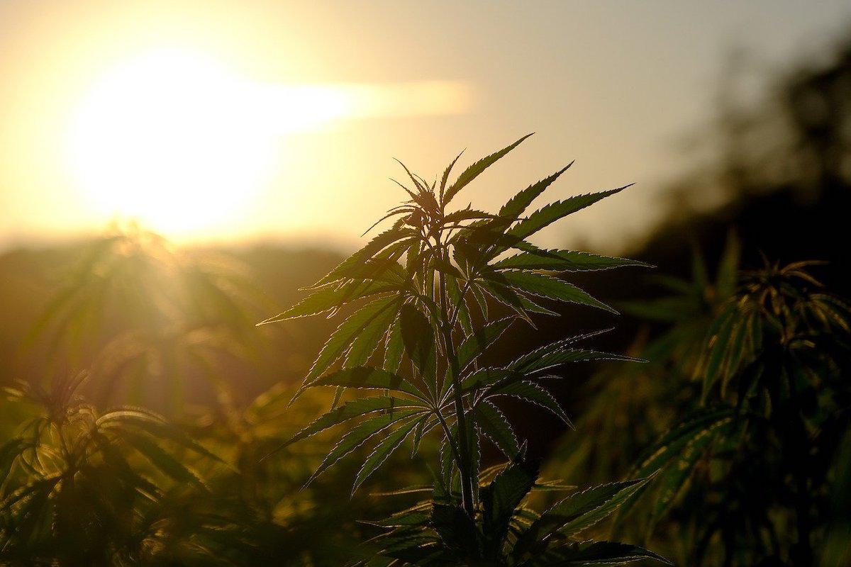 Le CBD est extrait du cannabis.